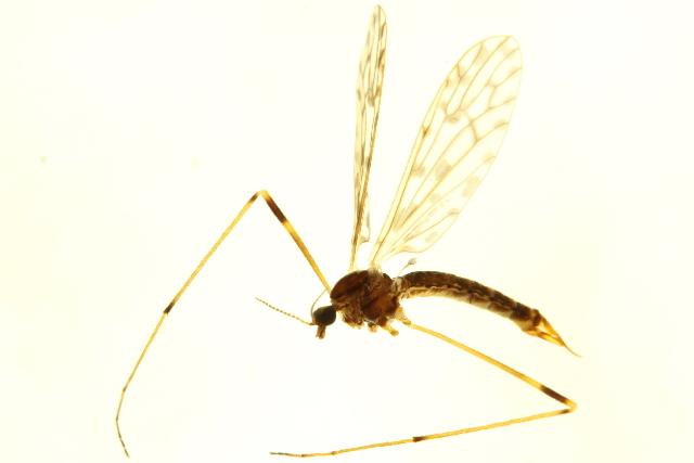 Image of <i>Atarba</i> (<i>Ischnothrix</i>) <i>australasiae</i> (Skuse 1890)