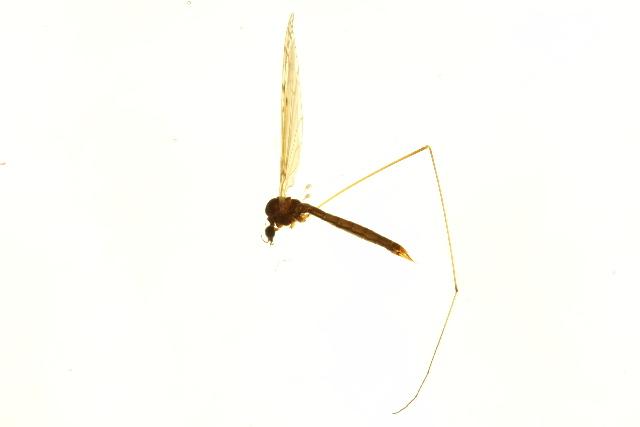 Image of <i><i>Dicranomyia</i></i> (Dicranomyia) <i>obscura</i> Skuse 1890