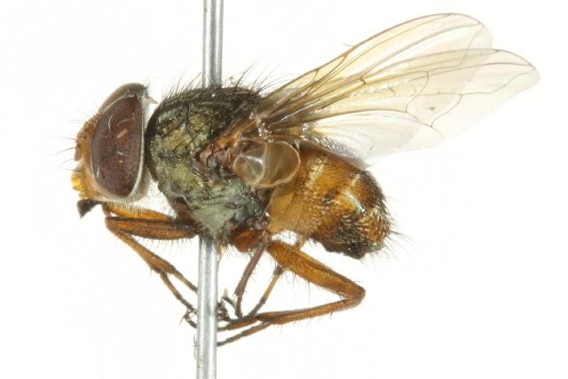 Image of Rhinia