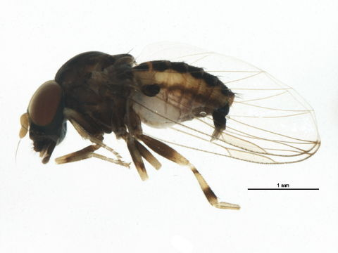 Image of <i>Ironomyia francisi</i> Mc Alpine 2008