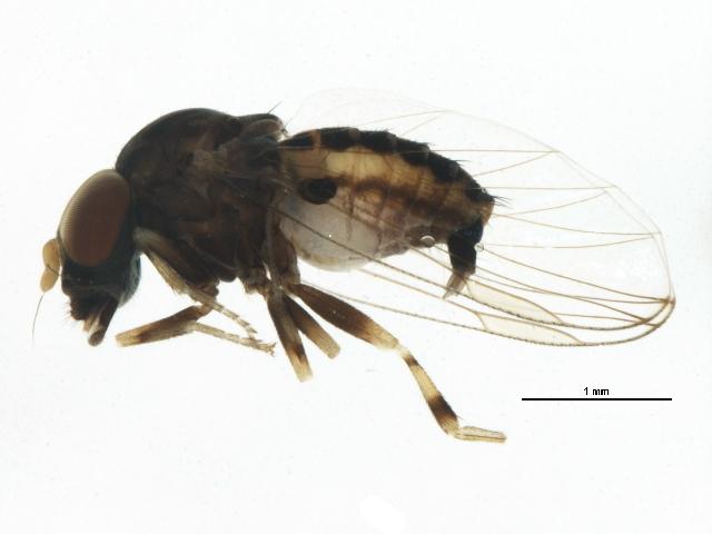 Image of <i>Ironomyia francisi</i> Mc Alpine 2008