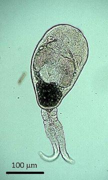 Image of Gymnophallidae
