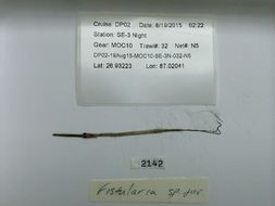 Image of Fistularia