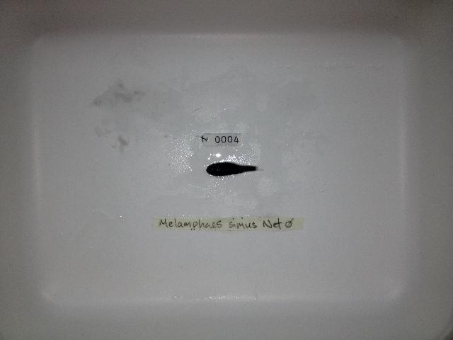 Image of Melamphaes