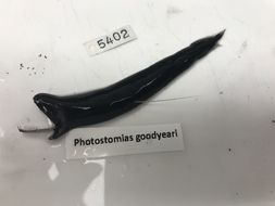 Image of Photostomias