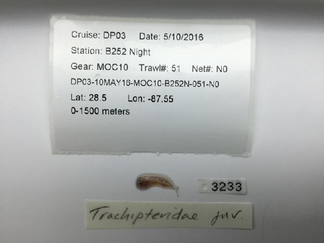 539.dpnd trachipteridae 1478038151 jpg