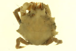 Image of <i>Mimulus foliatus</i>