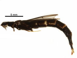 Image of ship-timber beetle