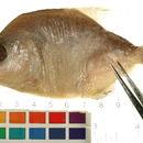 Image of Redeye piranha