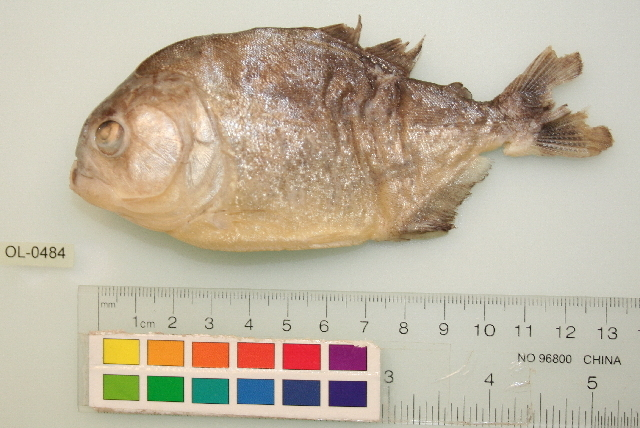 Image of Red-bellied piranha