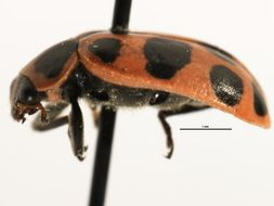 Image of Spotted Lady Beetle