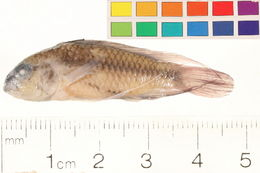 Image of three-striped dwarf cichlid