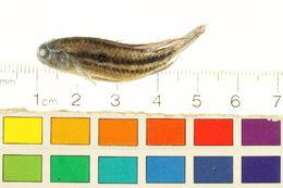 Image of <i>Apistogramma paucisquamis</i> Kullander & Staeck 1988