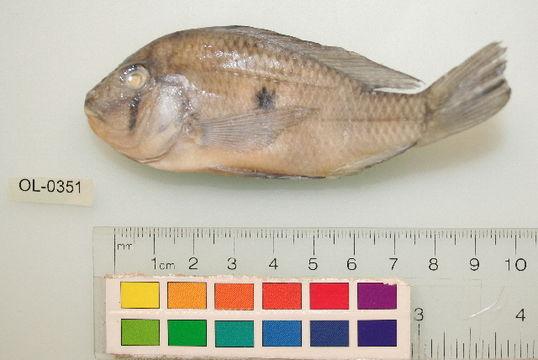 Image of Threadfin acara