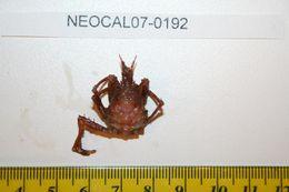 Image of <i>Chorilia longipes</i> Dana 1851