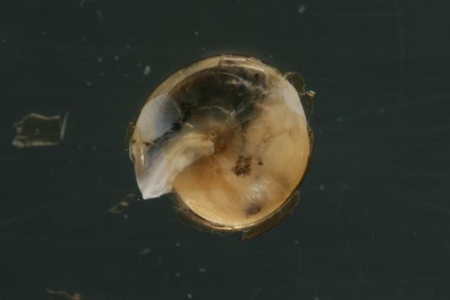 Image of Tawny Glass Snail