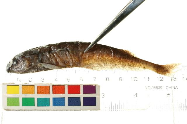 Image of <i>Brevimyrus niger</i> (Günther 1866)