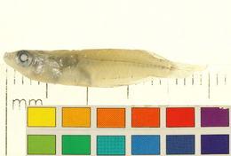 Image of <i>Oryzias melastigma</i> (Mc Clelland 1839)