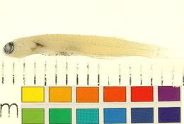 Image of <i>Danionella mirifica</i> Britz 2003