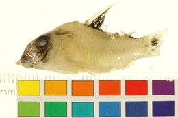 Image of <i>Corydoras oiapoquensis</i> Nijssen 1972