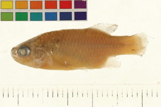 Image of redtail splitfin