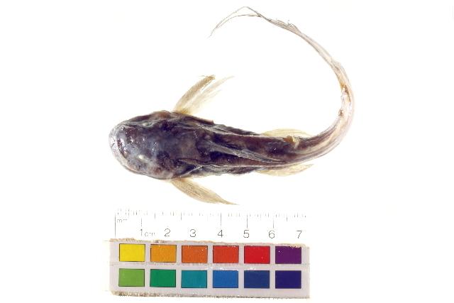 Image of <i>Synodontis caudalis</i> Boulenger 1899