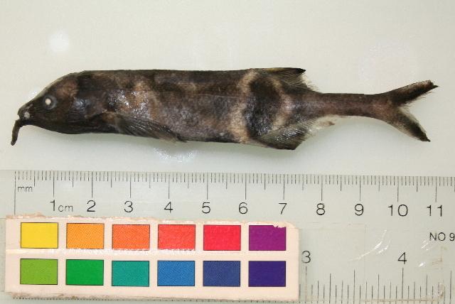 Image of <i>Brienomyrus</i>