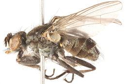 Image of <i>Lispe uliginosa</i> (Fallen 1825)