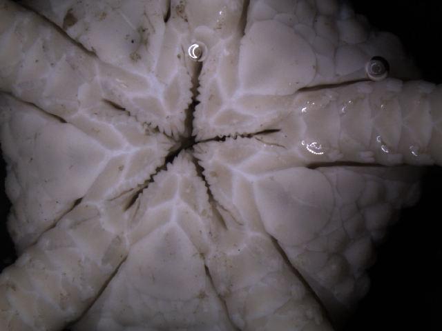 Image of <i>Ophiura</i> (<i>Ophiuroglypha</i>) <i>carinifera</i> (Koehler 1901)