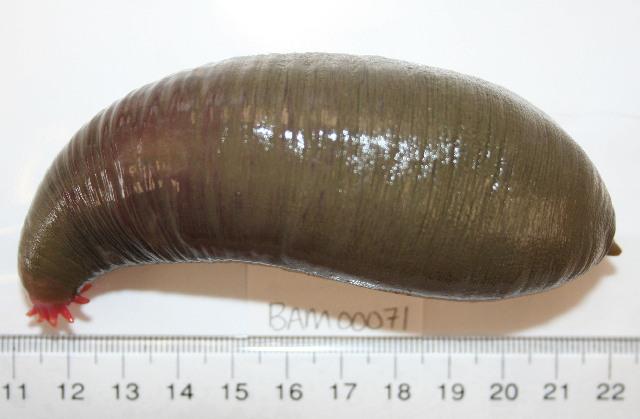 Image of intermediate fusiform sea cucumber