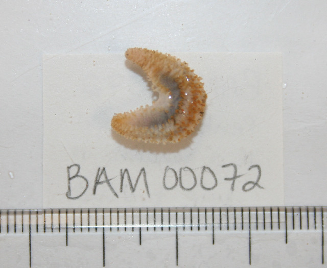Image of false chalky sea cucumber