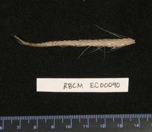 Image of Brisingidae