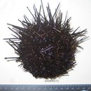 Image of Red sea urchin