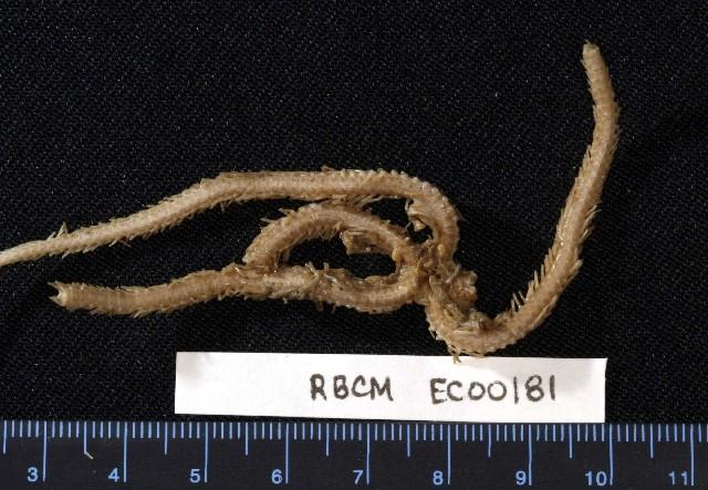Image of <i>Ophioscolex corynetes</i> (Clark 1911)
