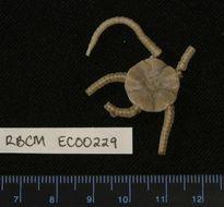 Image of Amphilepis