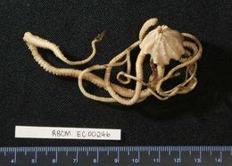 Image of Pipe-cleaner Brittlestar