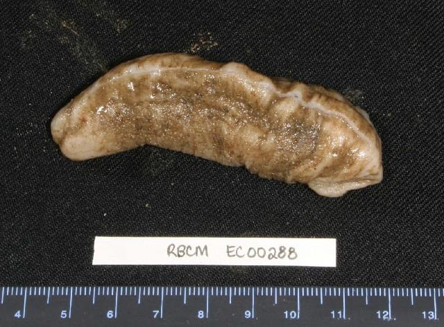 Image of bumpy sea cucumber