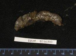 Image of Moseley's sea cucumber