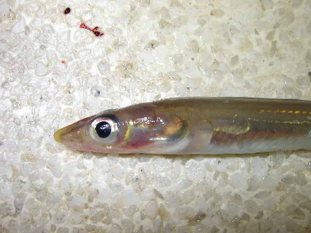 539.dssau gnathophis capensis head 1193321286 jpg