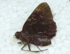 Image of Caenides