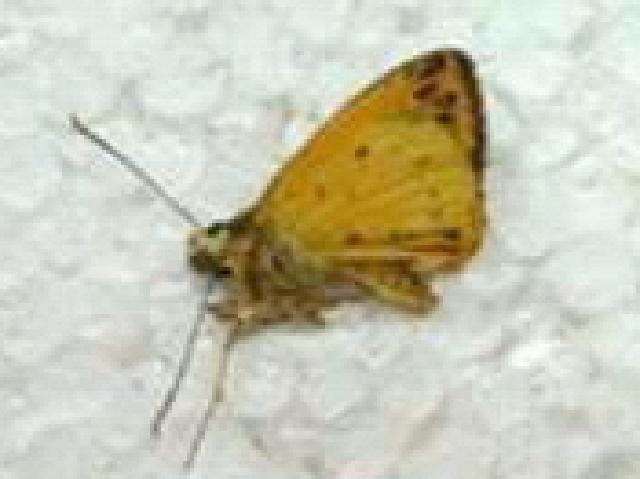 Image of Ceratrichia