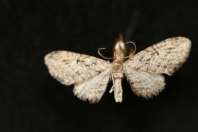 Image of <i>Eupithecia interruptofasciata</i> Packard 1873