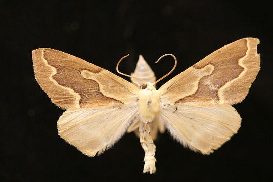 Image of <i>Sabulodes edwardsata</i> Hulst 1886