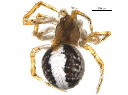 Image of <i>Theridion lawrencei</i> Gertsch & Archer 1942