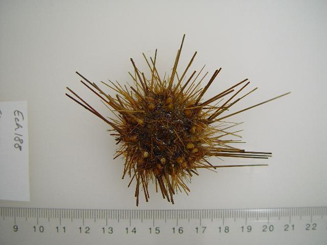 Image of <i>Caenopedina</i>