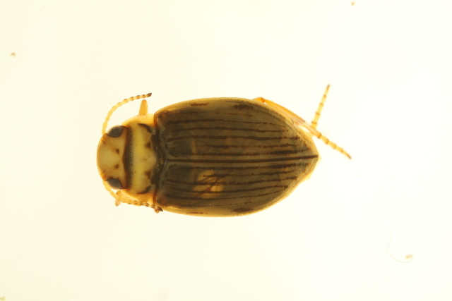 Image of <i>Oreodytes laevis</i> (Kirby 1837)