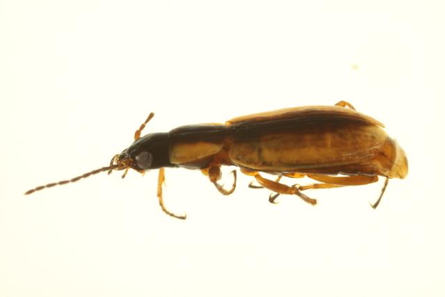 Image of <i>Agonum</i> (<i>Platynomicrus</i>) <i>nigriceps</i> Le Conte 1846