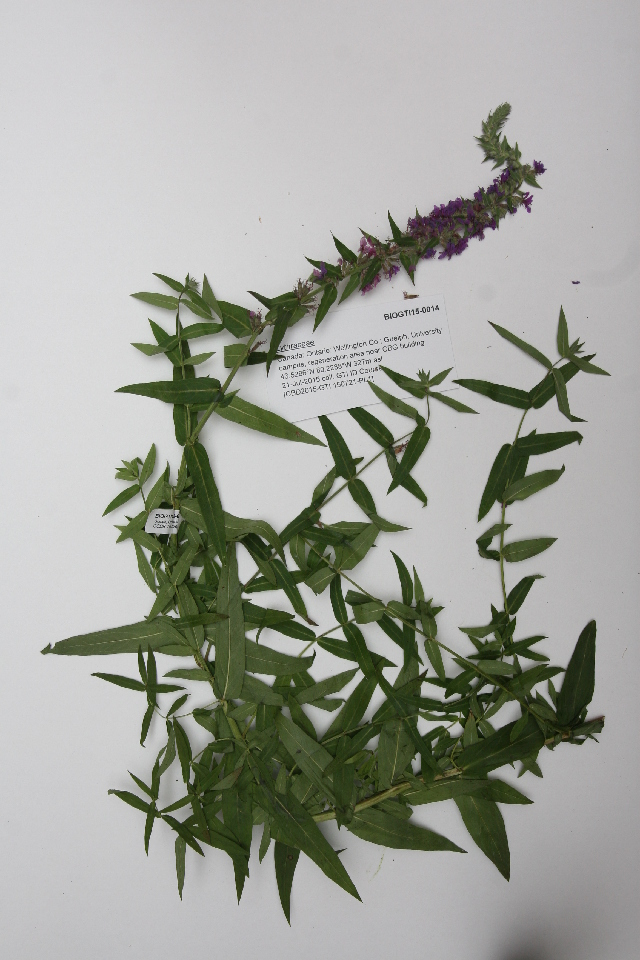 Image of loosestrife family