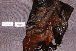 Image of Pterula
