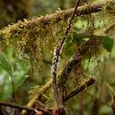 Image of Marasmiellus
